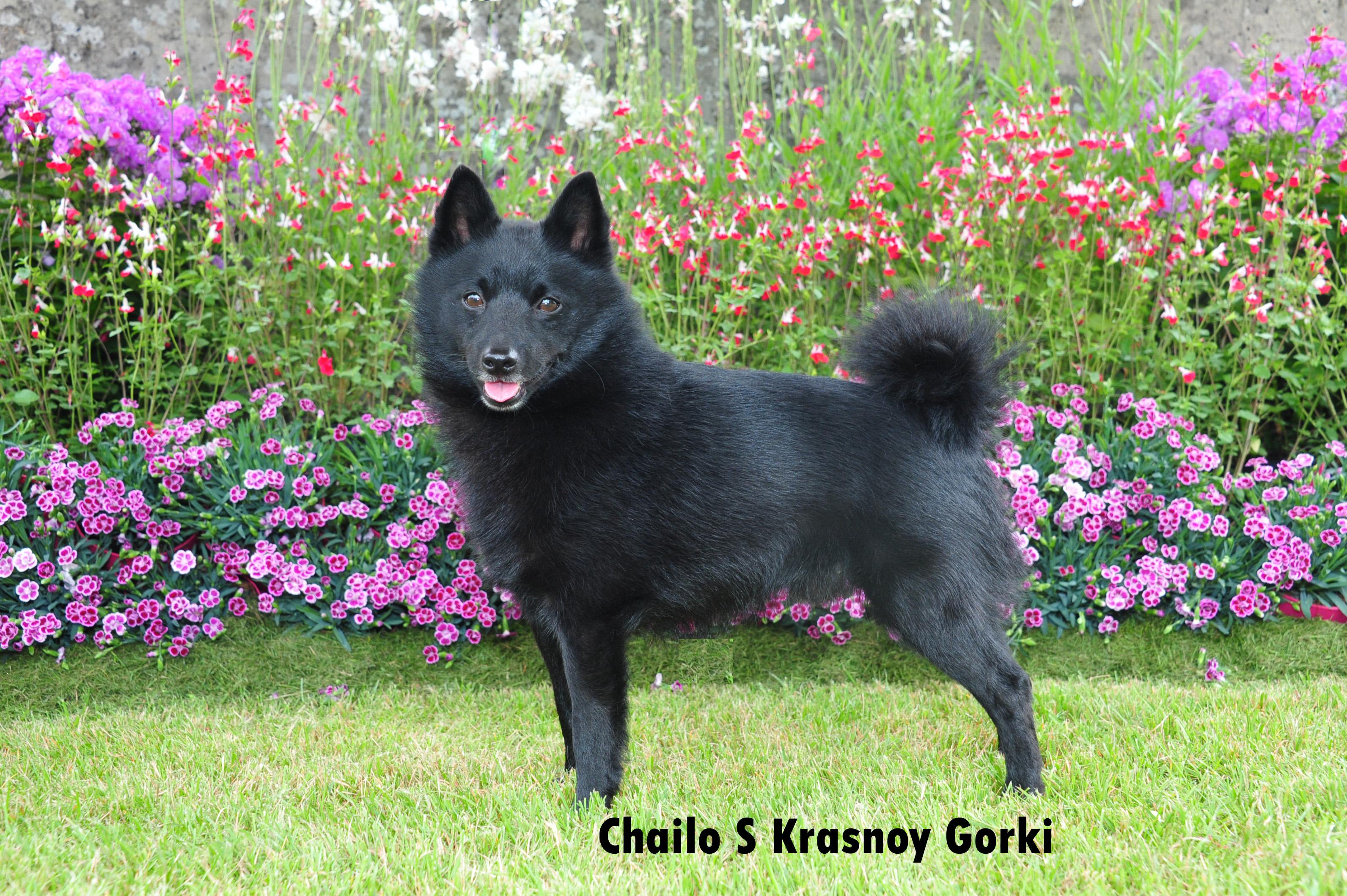 45-ChM Ex-Chailo S Krasnoy Gorki (NL)- (3C)